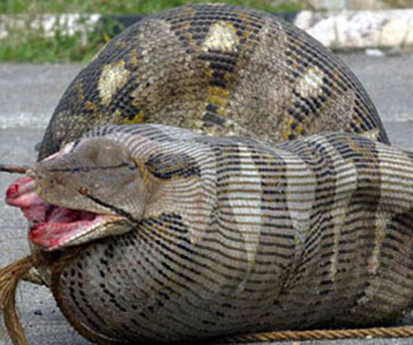 Snake Eating Woman Alive | www.pixshark.com - Images ...